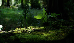 Glimpse Of Life (ETt_) Tags: leaf leaves trees forest stump branches moss grass plants weid soil ground floor pines pinetrees green light shadows