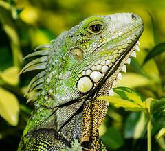 Scoping iguana (cjlarsen17) Tags: iguana puerto rico