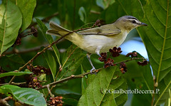Red-eyed Vireo (Vireo olivaceus) (Gualberto Becerra/CraterValley Photo) Tags: redeyedvireo vireoolivaceus bird vireo small nature natural feeding tree forest woods leaves green wildlife wild migrant panama costarica