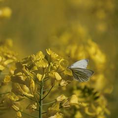 Du coin de l'oeil **--- ° (Titole) Tags: papillon butterfly rape colza yellow nicolefaton titole shallowdof friendlychallenges thechallengefactory unanimouswinner