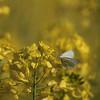 Du coin de l'oeil ** (Titole) Tags: papillon butterfly rape colza yellow nicolefaton titole shallowdof friendlychallenges thechallengefactory unanimouswinner