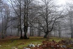 Bi (Enroscados II) (Begoña Fernández) Tags: arrigorrista pagadia hayedo beechwood lainoa niebla fog brouillard iturrieta opakua euskalherria araba garidui basquecountry mist sol sunshine eguzkia caliza kareharria limestone autumn udazkena otoño