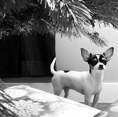 Under the Tree (Cindy's Here) Tags: underthetree peanut chihuahua christmastree christmas tree bw ansh scavenger5 100xthe2017edition 100x2017 image99100