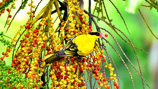 yellow-naped Oriole
