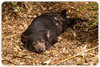 Tasmanian Devil (Sarcophilus harrisii) (Craig Jewell Photography) Tags: sarcophilusharrisii australia australiazoo beerwah queensland steveirwin tasmaniandevil zoo f40 100300mm ¹⁄₁₀₀₀sec canoneos1dmarkiv iso500 137 20171228143914x0k0404cr2 noflash ‒²⁄₃ev