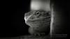 What you do? (Thomas TRENZ) Tags: agame agamidae bartagame barti nikon pogona reptil reptile tamron thomastrenz zwergbartagame animal blackwhite bw d600 fx henrylawsoni iamnikon macro makro schwarweiss sw terraristik tier