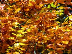 Anglų lietuvių žodynas. Žodis russet reiškia a rausvai rudas (pvz., lapas rudenį) lietuviškai.
