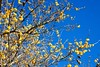 Nagatoro_Wintersweet_(2018_01_02)_1_resized_1 (Sound_Gene) Tags: plant tree wintersweet robai blossom flower bluesky yellow winter nagatoro saitama