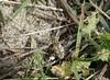 Cleonis pigra (rockwolf) Tags: cleonispigra weevil curculionidae coleoptera insect pointedelatorche coast dunes sand finistère bretagne brittany france 2017 rockwolf