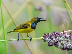 Male olive-backed sunbird on stem of water canna (Robert-Ang) Tags: sunbird olivebackedsunbird watercanna swamplily jurongecogarden singapore cinnyrisjugularis animalplanet