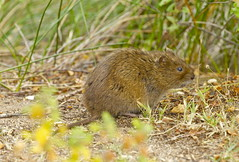 SOUTHERN WATER VOLE (tony.cox27) Tags: southern water vole