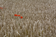 Color Minimalism (Alfred Grupstra) Tags: nature field summer ruralscene wheat agriculture meadow outdoors grass plant season poppy cerealplant red beautyinnature farm landscape crop nonurbanscene day