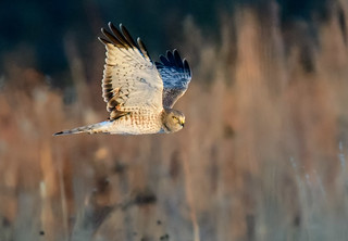 Northern Harrier patroling the meadows in Central Jersey.