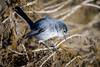 California Gnatcher (halladaybill) Tags: californiagnatcatcher uppernewportbay gnatcatcher threatenedspecies california orangecounty sage newportbayconservancy muthinterpretivecenter newportbeach nikond850 nikkor200500zoom