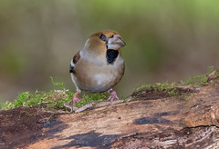 JWL8707  Hawfinch.. (jefflack Wildlife&Nature) Tags: hawfinch farmland finch finches forest trees wildlife wildbirds woodlands hedgerows yew countryside songbirds nature woods ngc npc