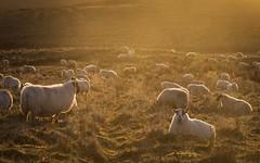 WINTER WARMERS (mattbrownphoto) Tags: sheep farming northumberland ingram valley dawn light sun sunlight sunrise early sunday landscape animals travel nikon sigma manfrotto