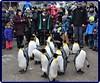 Penguin Parade -  Zurich Zoo (2) (Ioan BACIVAROV Photography) Tags: penguinparade zurichzoo penguin parade zurich zoo bird birds animal animals winter humor