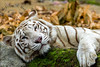 No Place Like Home (melvhsc100) Tags: white tiger singaporeattractions animals carnivorous mandai zoo colors wildlife cats park fierce nikond7200 tamron150600mm