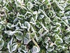 frosted grass (guzmania*) Tags: hierba treboles helado escarcha diciembre grass clovers frozen green nature frost frosted december frostyleaves