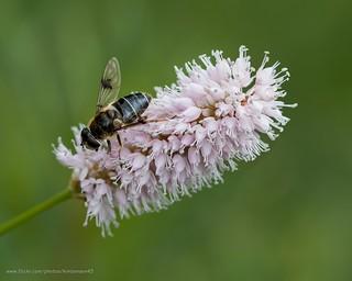 Bee on bistort