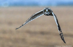Short eared Owl - Hunting at Dusk (digithief) Tags: d500 nikon ontario dusk hunting owls shortearedowl wild