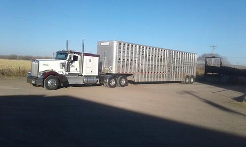 Bull haulin