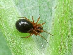Erigoninae (Gansucha) Tags: araneae linyphiidae