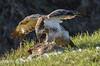 Saturday afternoon Wildlife (powerfocusfotografie) Tags: buzzard food outdoors birdlife nature eating hare birdofprey henk nikond7200 powerfocusfotografie