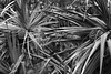 Limahuli Garden (Tony Pulokas) Tags: tree hawaii kauai tilt blur bokeh hala leaf screwpine pandanus pandanustectorius tropicalrainforest limahuligarden limahulivalley nationaltropicalbotanicalgarden forest fruit