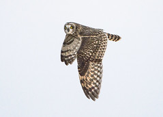Short-eared Owl Hunting_12-16_1 (Thomas Muir) Tags: tommuir asioflammeus bird raptor woodcounty bowlinggreen ohio flying migration animal outdoor december 600mm nikon d800 midwest field