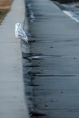 Snowy Owl in Chicago (UAJamie1) Tags: beach birdwatching birding chicago lakemichigan winter snowyowl owl