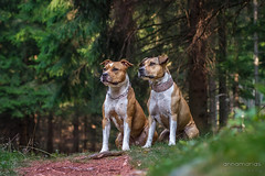 2017-09-09 (annamarias.) Tags: american pit bull terrier pitbull staffordshire strong muscular dog working bulldog woods forest friends friendship