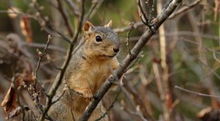 Squirrel, Morton Arboretum. 414 (EOS)