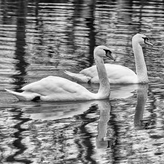 Mute Swans (explored Dec 19, 2017 #295)