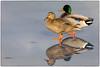 On thin ice (djrocks66) Tags: ducks mallards animals wildlife nature lakes ponds foul water outdoors fishing boating sunset sunrise bif canon canonusa ny long patchogue island ice snow winter clouds sky landscape