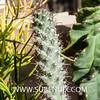 Mammillaria poselgeri (SUBENUIX) Tags: cactaceae mammillariaposelgeri suculentas subenuix subenuixcom planta suculent suculenta botanic botanical