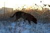 DSC04538 (mikael.kha248) Tags: dog doggy dogs dogwalking activedog walkingdog black blacklabrador blacklab blacklabr labrador labr labradorretriever lab blacklabradorretriever puppy labpuppy winterdog eveningwalk sunspotdog blackdog myblack jim dogas pet pets animal animals wintersolstice sunset sunspot sudown sun sunlight depthoffield landscape nature snow winter december 2017 december17 december2017 winter17 winter2017 alone ice