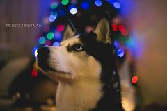 _DSC5885_1 (Cloud9photographer) Tags: tia husky christmas dog ali kuleli blue eyes