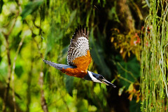 Big Kingfisher (C McCann) Tags: kingfisher bird flying flight costarica arenal