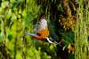 Big Kingfisher (C McCann) Tags: kingfisher bird flying flight costarica arenal