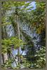 Papayas Galore (Sugardxn) Tags: garypentin sugardxn photoshop picswithframes frame hawaii bigisland kona canon canoneos7d canon7d coconut palm tall