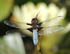 Broad-Bodied Chaser (Kevin Pendragon) Tags: dragonfly wings hunter summer blue black brown bradfordonavon pond flower water lilly