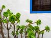 Succulent (Ulrich Neitzel) Tags: aeoniumarboreum apulien fenster green grün italia italien italy mzuiko1240mm olympusem1 ostuni pflanze plant puglia succulent window blue blau