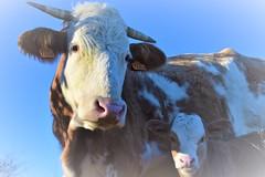 DSC_0699 (mélanie mathevon (mystery)) Tags: vache vaches veau animal animaux ferme campagne taches