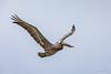 Pelican! (karindebruin) Tags: bonaire pelican pelikaan bird vogel caribbean caribbeansea caribischgebied
