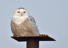 Snowy Owl (Hanzy2012) Tags: toronto ontario canada wildlife snowyowl buboscandiacus harfangdesneiges bird d500 afsnikkor500mmf4difedii