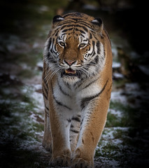 Land of the Tiger (Panthera tigris altaica) (neil 36) Tags: amur tiger snowfall panthera tigris altaica endangered largest exhibits europe world renowned tschuna east russia northeast china