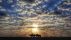 The Morning Walk (Sanjiban2011) Tags: aldafra camels sunrise dawn earlymorning silhouette sunrays sunshine samsungnote5 mobilephotography uae abudhabi clouds cloudscape nature outdoor landscape