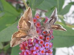 Celery loopers (Anagrapha falcifera), on butterfly bush (tigerbeatlefreak) Tags: celery looper anagrapha falcifera moth lepidoptera noctuidae nebraska