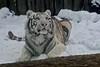 White tiger (Panthera tigris tigris) (JirikD) Tags: whitetiger tygr tamronsp7020028g2 šelmy snow sníh savci predator mammals animals zooliberec nikond7200 2017 liberec českárepublika zvířata